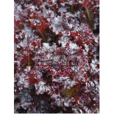 Салат Краснолистный Летний листовой