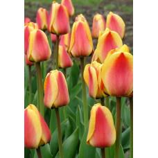 Тюльпан Апелдорн (10шт) луковицы