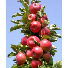 Яблоня Колоновидная Арбат (подвой - полукарлик)