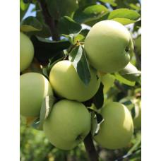 Яблоня Налив белый (подвой - семенной)