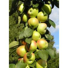 Яблоня Колоновидная Чебурашка (подвой - полукарлик)
