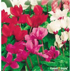 Цикламен Персидский Крупноцветковый