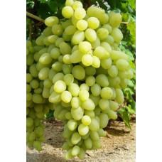 Виноград Долгожданный Поиск