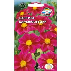 Георгина Царевна Будур пурпурная