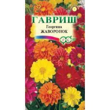 Георгина Жаворонок махр цветок9-12см цвет до замороз Гавриш