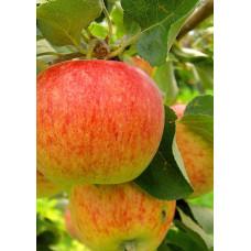 Яблоня Коричное полосатое 2-х лет Поиск