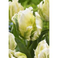 Тюльпан НК Мадонна (10шт) луковицы