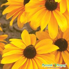 Рудбекия Мармелад однолет чудоцветок