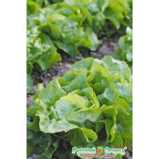 Салат маслянистый Изумительный кочанный (Вкуснятина)