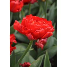 Тюльпан НК Миранда (5шт) луковицы