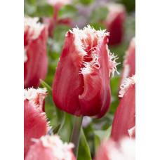 Тюльпан бахромчатый Нью Санта (10шт) луковицы