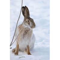 Способы защиты от набегов зайцев и мышей на огород зимой