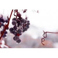Лучшее время и способ для укрытия винограда на зиму