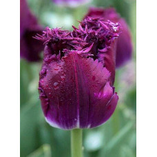 Тюльпан бахромчатый Пепл Кристал (5 шт) луковицы