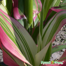 Кукуруза Декоративная Пестрая лента