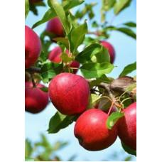 Яблоня Красное раннее (подвой - семенной)