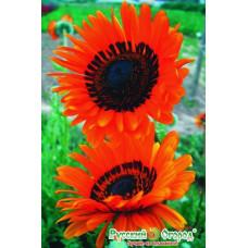 Венидиум Оранжевый принц
